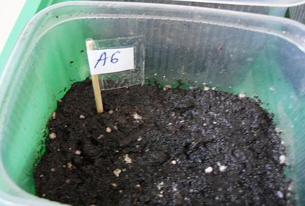 Увлажненные гранулы на торфяном субстрате хорошо растворяются