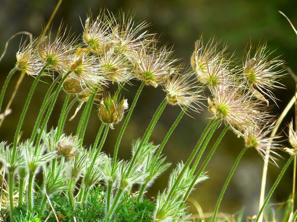Растение с созревшими семенами легко узнать и трудно не заметить
