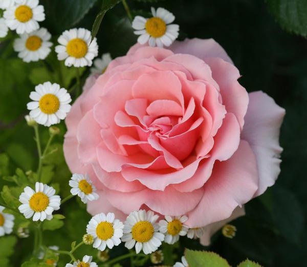 Розовые розы идеальны для сада с романтическим настроением