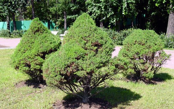 Ель канадская (Picea glauca) 'Коника'