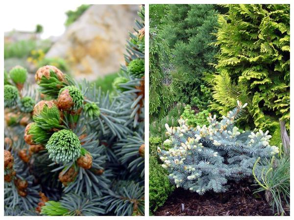 Голубые формы хвойных традиционно популярны. Ель ситхинская (Picea sitchensis) 'Silberzwerg' и компактный культивар ели колючей (Picea pungens)