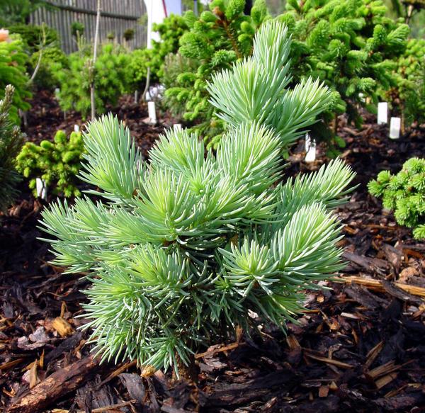 Ель колючая (Picea pungens) 'Herinek'