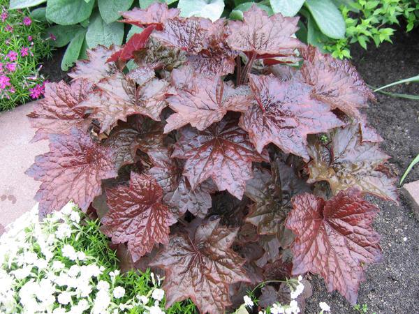 Гейхера 'Palace Purple'. Именно ее семена чаще всего встречаются в продаже