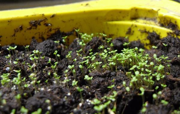Семена попросту не видно. Всходы видно. Но от этого не легче...
