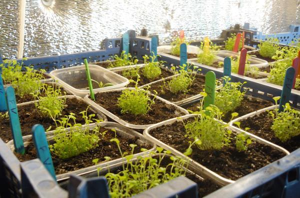 С новым способом посева выращивать лобелии так просто, что остановиться невозможно...