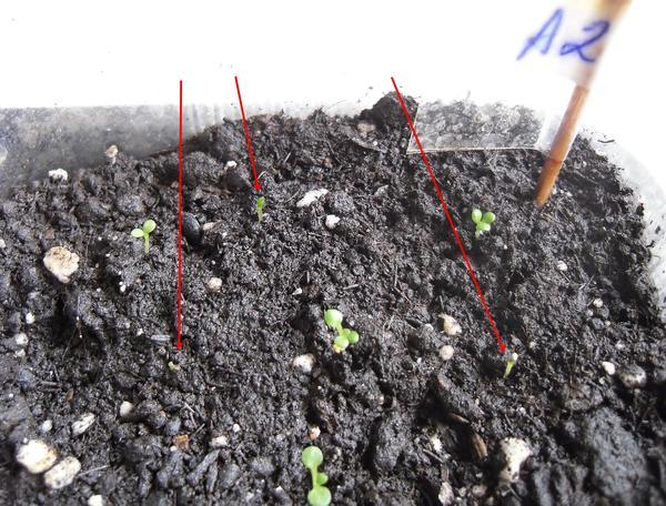Сеянцы в грунте до пикировки. Стрелками отмечены сеянцы с явным отставанием в развитии