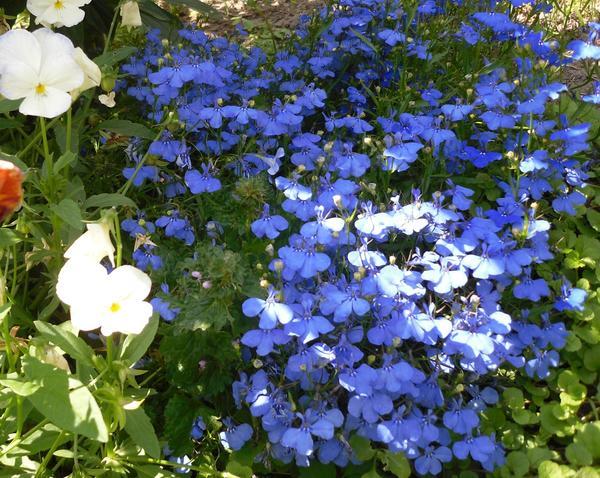 Небесная синева в цветнике
