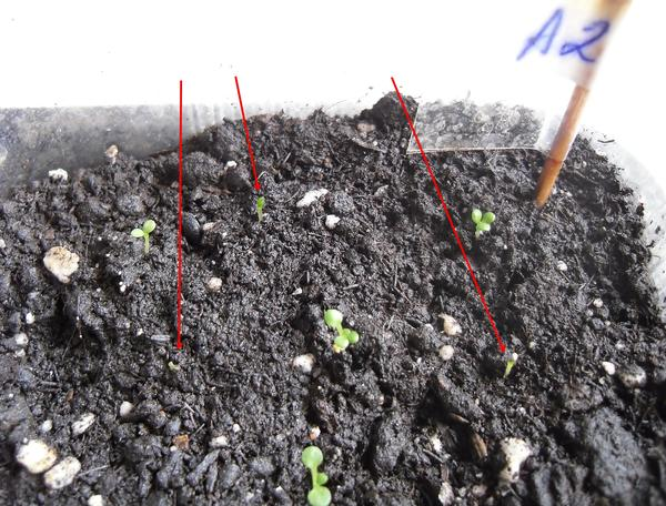 Сеянцы в грунте по состоянию на 27.03. Стрелками отмечены сеянцы с явным отставанием в развитии
