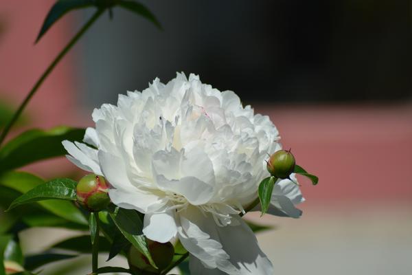 И пионы росли в старых московских садах, и розы, и другие цветы