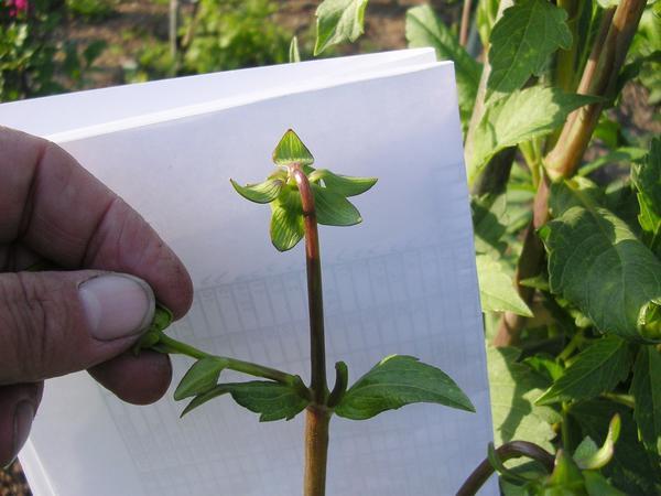 Пинцировка, или удаление лишних бутонов, позволяет получать более крупные цветки