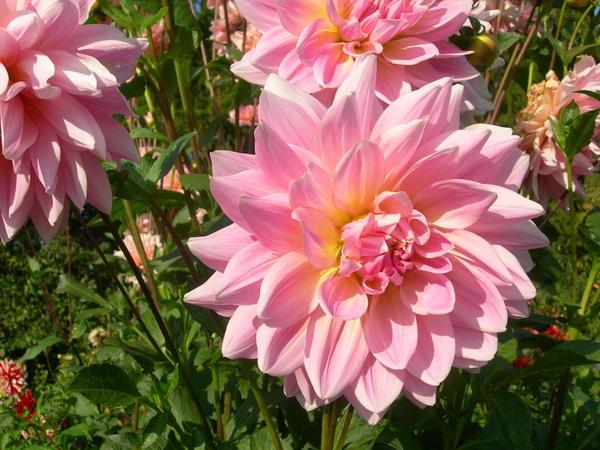 'Розовая диадема '