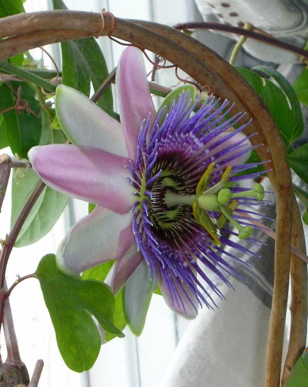 Именно цветением пленяет всех страстоцвет