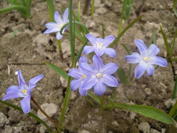 Хионодокса голубая, сорт неизвестен