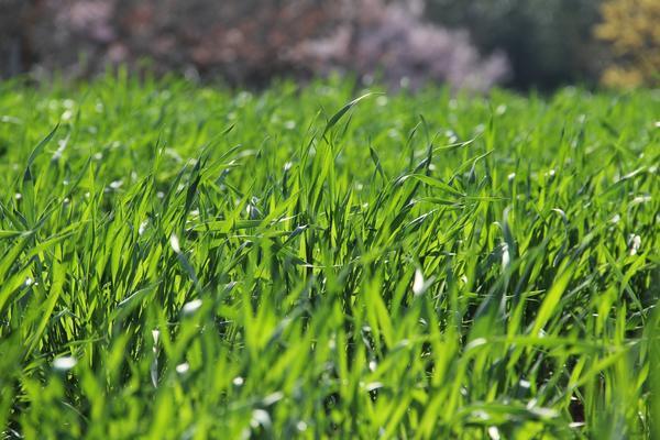 Для хорошего роста газонной траве нужен азот