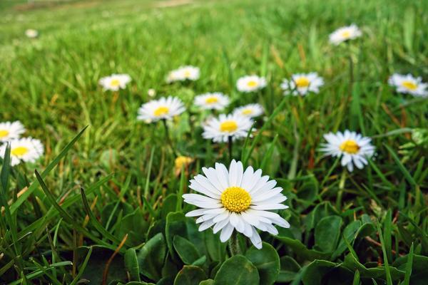 Альтернатива классической лужайке - цветущий газон