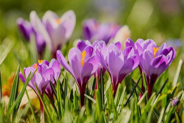 Раннецветущие луковичные отлично подходят для создания естественного газона