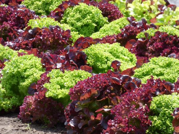 Зеленные культуры богаты витаминами, а скороспелость позволяет выращивать их непрерывно весь сезон