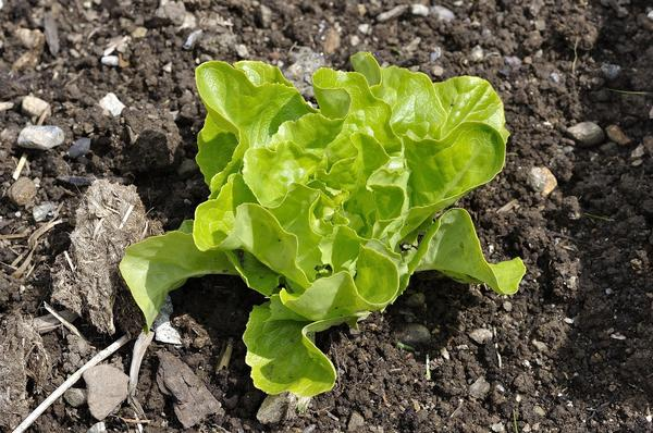 Некоторые виды зелени можно выращивать рассадным методом