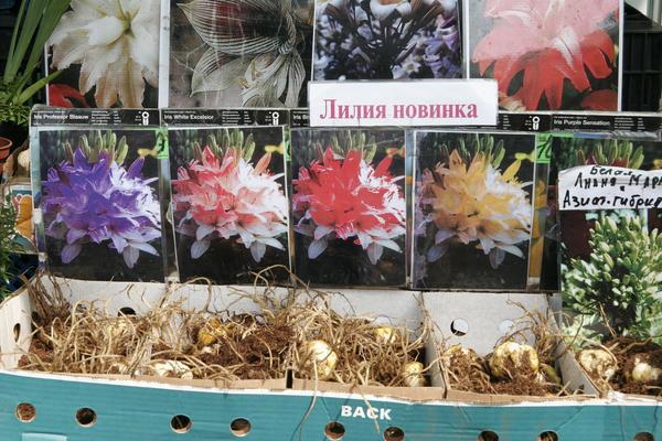 """Как продавцы создают """"новые сорта"""" лилий. Фото автора"""