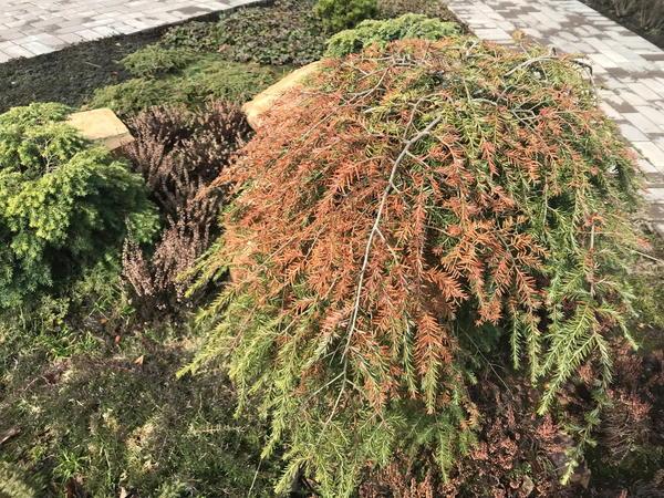 Солнечные ожоги на хвойных растениях - распространенная проблема
