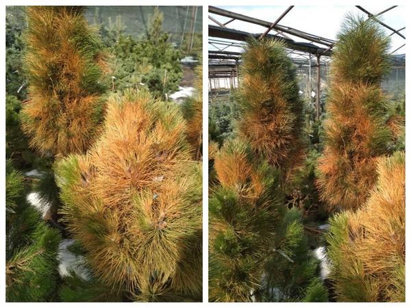 Пострадавшим от ожогов хвойным растениям необходима реанимация