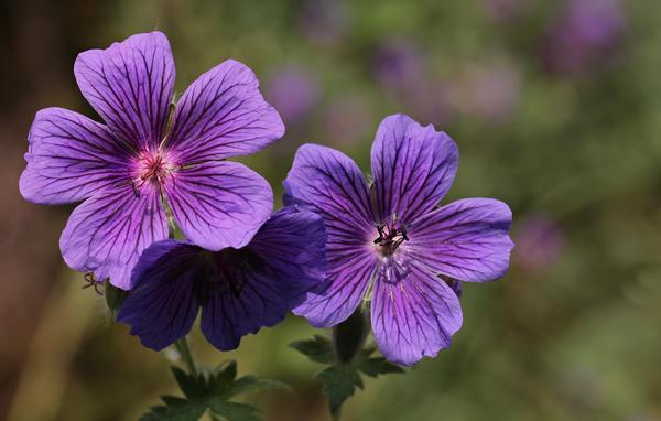Герань очень популярна как у садоводов, так и у селекционеров