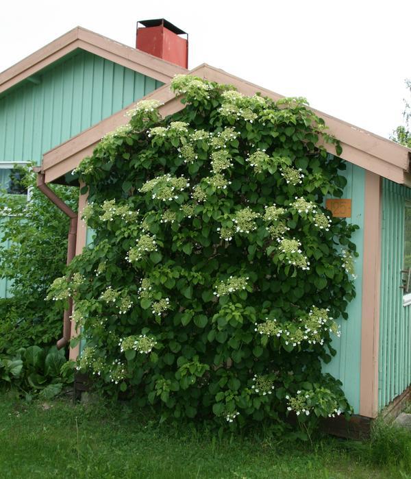 Многие растения превосходно себя чувствуют и отлично разрастаются в местном климате