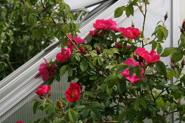 Розы на городских улицах - сорта неприхотливых шиповников