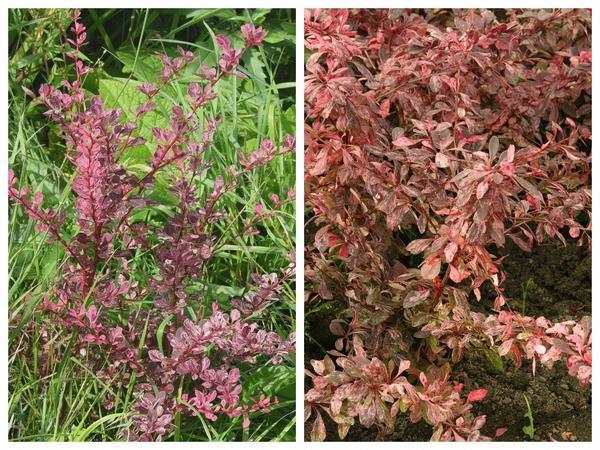 Барбарис Тунберга 'Pink Queen' (слева) и 'Rose Glow' (справа)