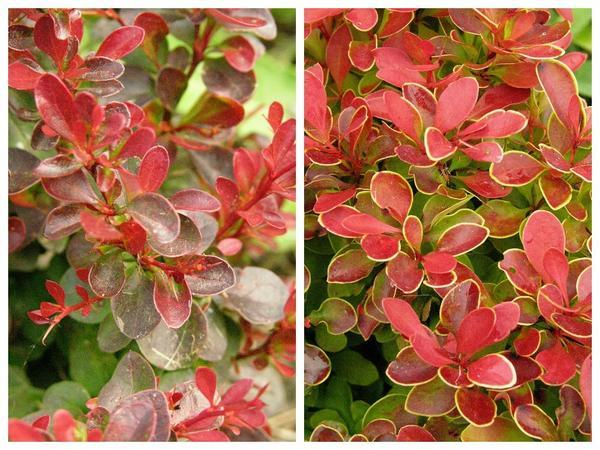 Барбарис Тунберга 'Atropurpurea Nana' (слева) и 'Admiration' (справа)