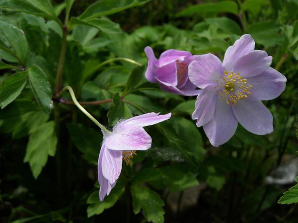 'Robinsoniana' - популярный сорт с крупными ярко-лиловыми цветками. Фото с сайта www.garden08