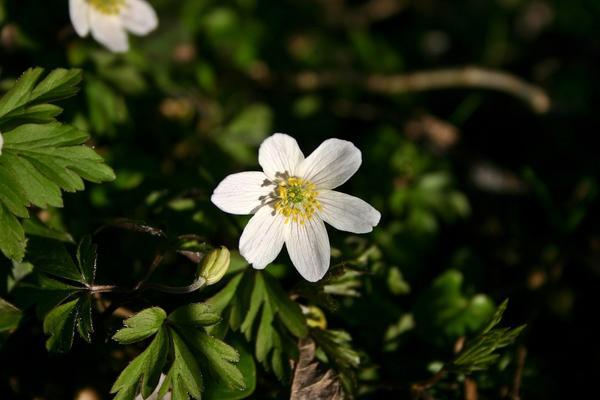 Ветреница дубравная - идеальное растение для сада в природном стиле