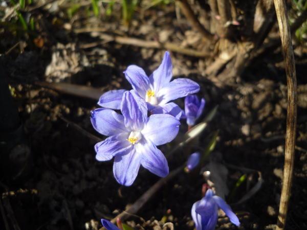 Хионодокса. Почему-то нынешней весной она не синяя, а скорее сиреневая...
