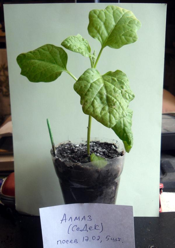 Баклажан Алмаз - самое крупное растение среди всей рассады