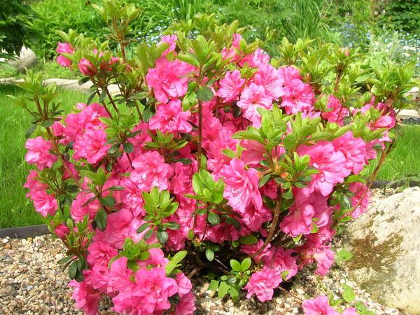 Чтобы рододендрон проявил себя с лучшей стороны, важно умело разместить его в саду