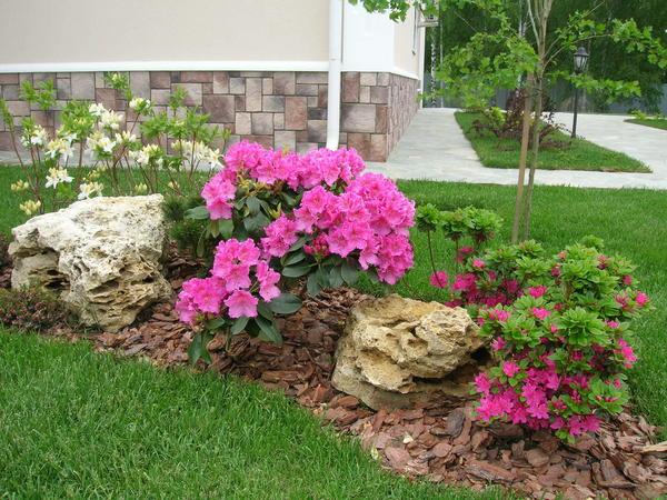 Составляя композицию из разных сортов рододендронов, следует подбирать растения, гармонирующие по цвету