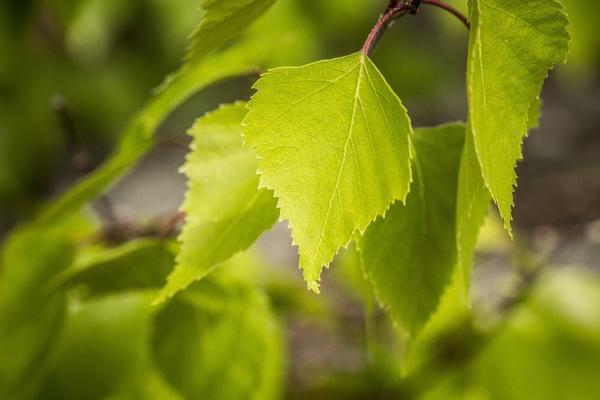 В мае собирают молодые листья березы