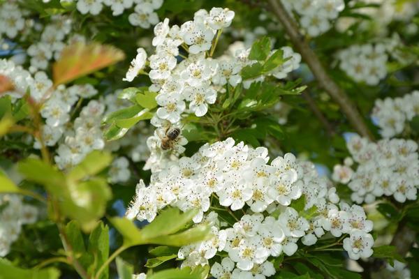 Цветки боярышника заготавливают обязательно в сухую погоду