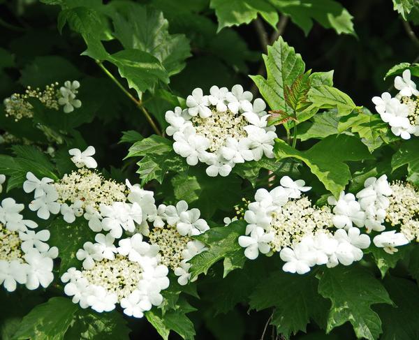 Цветки калины используются реже, чем ее ягоды и кора