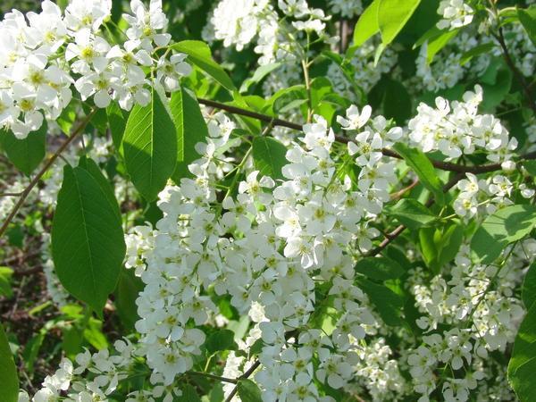 Цветки черемухи обыкновенной обладают целебными свойствами