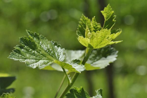 Листья черной смородины - и чай, и лекарство