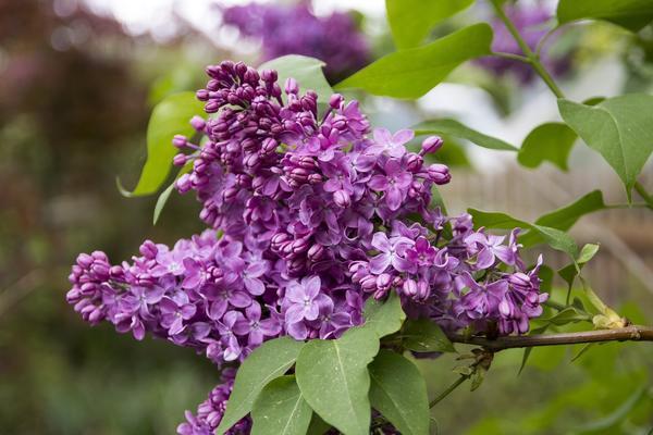 У сирени обыкновенной целебным сырьем служат и цветки, и листья