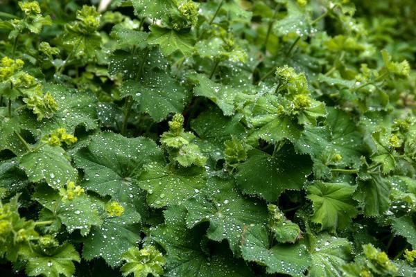 Манжетка обыкновенная - очень распространенное растение