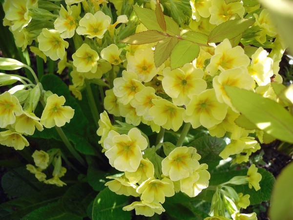 Бледно-желтая примула высокая уютно устроилась под спиреей