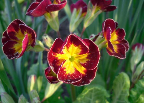У некоторых сортов лепестки цветка имеют тонкую окантовку