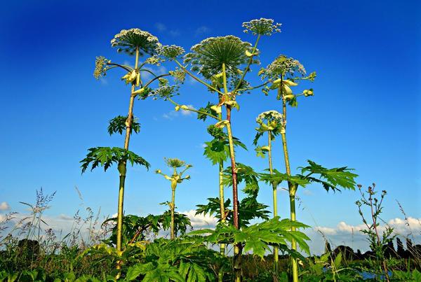 Сейчас нам сложно представить, чтобы кто-то сознательно выращивал борщевики в саду
