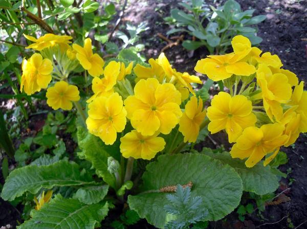 Ярко-желтые примулы отлично разрастаются