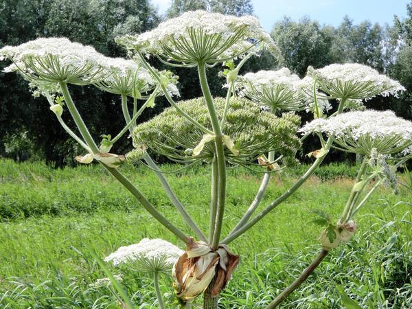 Борщевик Сосновского был выбран учеными за высокую урожайность и питательность