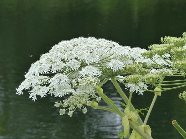 Можно срезать только цветущие растения во время цветения, но это более хлопотно, чем скашивание