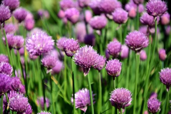 Шнитт-лук - ценное пищевое, лекарственное и декоративное растение, хороший медонос